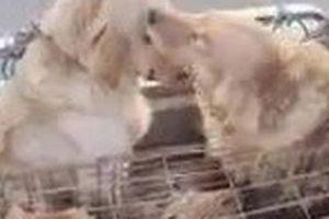 Chó 'lau nước mắt' cho bạn khi bị đem ra chợ bán