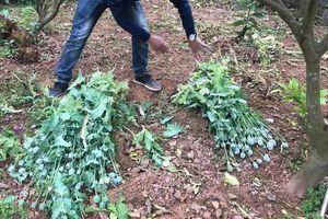 Hàng loạt người dân ở Bắc Giang trồng thuốc phiện tại nhà để làm rau ăn, chăn nuôi