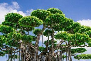 Cận cảnh những cây cảnh bạc tỷ của đại gia Việt