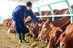 Vilico đầu tư 1.700 tỷ đồng xây dựng trang trại bò thịt 20.000 con/năm