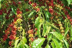 Giá cà phê hôm nay 28/2: Giá giảm do cung ngắn hạn tăng,'món quà hy vọng' của Tổng thống Mỹ Biden