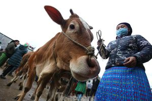 Lạc bước ở phiên chợ bò Mèo Vạc