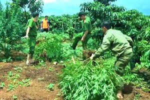 Trồng hàng trăm cây cần sa bị phát hiện