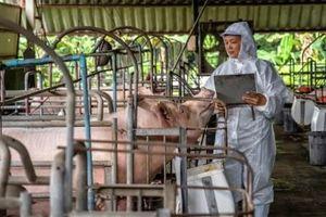 Biến thể tả lợn châu Phi ít nguy hiểm nhưng khó phát hiện hơn