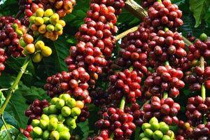 Cà phê trong nước và thế giới đồng loạt giảm giá