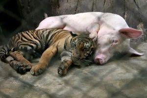 Hổ con sắp chết đói vì không có sữa mẹ liền được đưa vào sống chung với 'mẹ lợn' và thái độ của nó khi trưởng thành khiến ai cũng bất ngờ