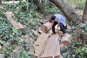 Khởi tố vụ án 'xẻ thịt' rừng già ở Gia Lai