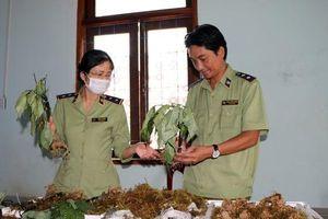 Bắt vụ vận chuyển Sâm Ngọc Linh giả tại 'thủ phủ' Sâm thật
