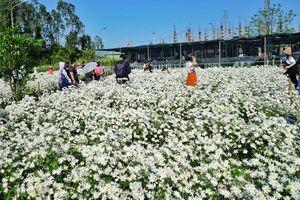 Đẹp nao lòng vườn cúc họa mi 'công nghệ sinh học' tại Đà Nẵng