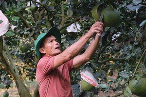 Trở thành tỷ phú từ mô hình trồng bưởi da xanh ở Lâm Đồng