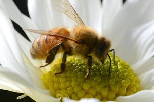 Ong là loài động vật có nọc độc nguy hiểm nhất ở Australia