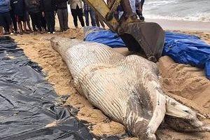 Quảng Bình: Cá 'Ông' chết trôi dạt vào bờ
