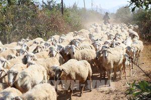 Ninh Thuận phát triển chăn nuôi cừu theo hướng công nghiệp