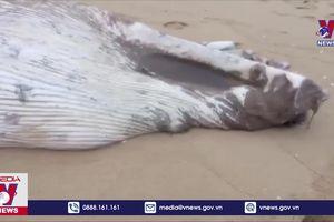 Xác cá voi nặng khoảng 1 tấn dạt vào biển Quảng Bình