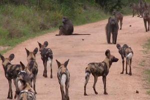 Bang hội tranh đấu: Khi đàn chó hoang thiện chiến 'va' phải đàn khỉ đầu chó hung hăng