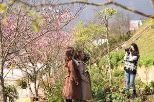 Rừng hoa đào Fansipan - điểm đến 'hot trend' của giới trẻ dịp 8/3