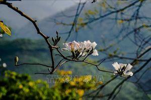 Hoa ban bung nở trên núi rừng Tây Bắc