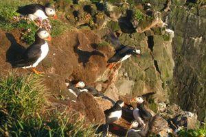 Ngắm chim tại vách đá ở Iceland