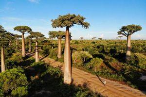 Đại lộ cây mọc ngược 3.000 năm tuổi tựa cảnh đẹp ở hành tinh khác