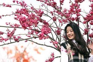 Hoa anh đào Nhật khoe sắc trên đỉnh Fansipan