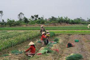 Thừa Thiên Huế: Nông dân gặp khó khi rau xanh được mùa mất giá