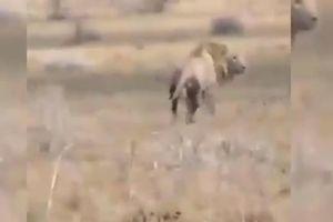 Sư tử đực bỗng dưng lăn đùng ra chết