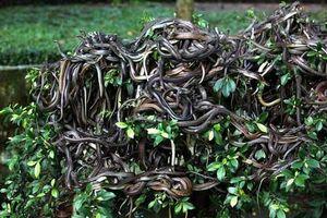 Chuyện dựng tóc gáy về đảo rắn - nơi được coi là 'thánh địa' của những loài rắn kinh hoàng nhất thế giới
