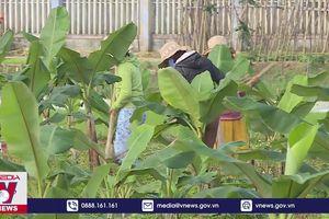 Phụ nữ trồng chuối làm từ thiện