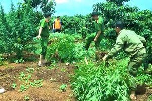 Trồng cây cần sa trong rẫy cà phê ở Daklak bị phát hiện