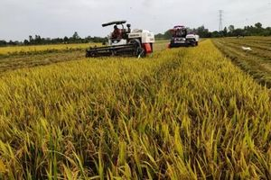 Cần Thơ đã thu hoạch hơn 17.125ha lúa đông xuân