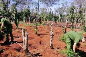 Lại phát hiện vụ trồng cần sa quy mô lớn ở Đắk Lắk