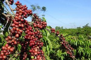 Giá cà phê hôm nay 7/3: Tiếp tục giảm mạnh, yếu tố nào hỗ trợ giá cà phê trong dài hạn?