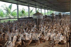 Đồng Tháp phát triển chăn nuôi vịt an toàn sinh học