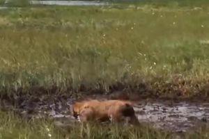 Liều lĩnh vật lộn với nhím trong sình lầy, chó nhà nhận kết cục cay đắng