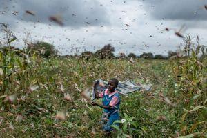 Kenya biến nạn dịch châu chấu thành cơ hội