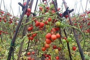 Nam Định: Cà chua, bắp cải không tiêu thụ được