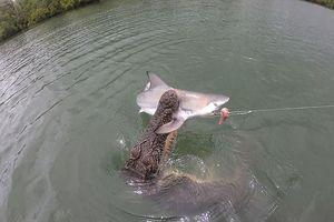Cá sấu lao lên cướp cá mập trên cần câu