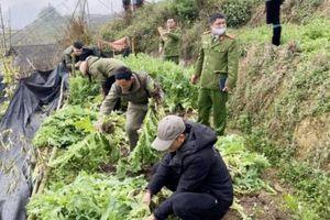 Sa Pa nhổ bỏ hơn 2.200 cây thuốc phiện