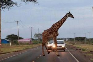 Ảnh động vật: Hươu cao cổ khổng lồ đi qua đường 'tạt đầu' ô tô