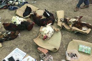 Tiền Giang: Triệt phá tụ điểm đá gà ăn tiền trên địa bàn biên giới