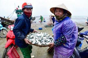 Ngư dân xứ Thanh kiếm tiền triệu mỗi ngày nhờ mùa cá trích