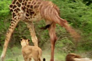 1 chọi 7 sư tử, hươu cao cổ 'phản đòn' cực gắt