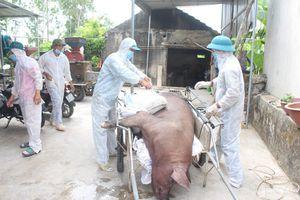 Dịch tả lợn châu Phi tái phát ở Quỳnh Lưu