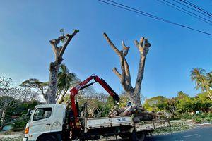 Vì sao phải chặt hạ cây xanh trên đường Thống Nhất?