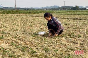Vì sao diện tích gieo trỉa lạc xuân ở Hà Tĩnh không đạt kế hoạch?