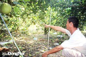 Người mua bưởi không hái trái, chủ vườn khó xử