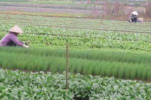 Người dân Thường Tín lạc quan bám ruộng trồng rau