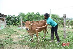 13 xã xuất hiện viêm da nổi cục trên trâu bò, huyện miền núi Hà Tĩnh rốt ráo phòng trừ