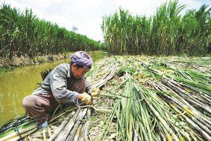 Có nên đầu tư cổ phiếu ngành mía đường?