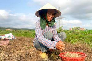 Nghệ An: Giá chạm đáy, hàng trăm hecta hành tăm chịu cảnh 'nằm ruộng'